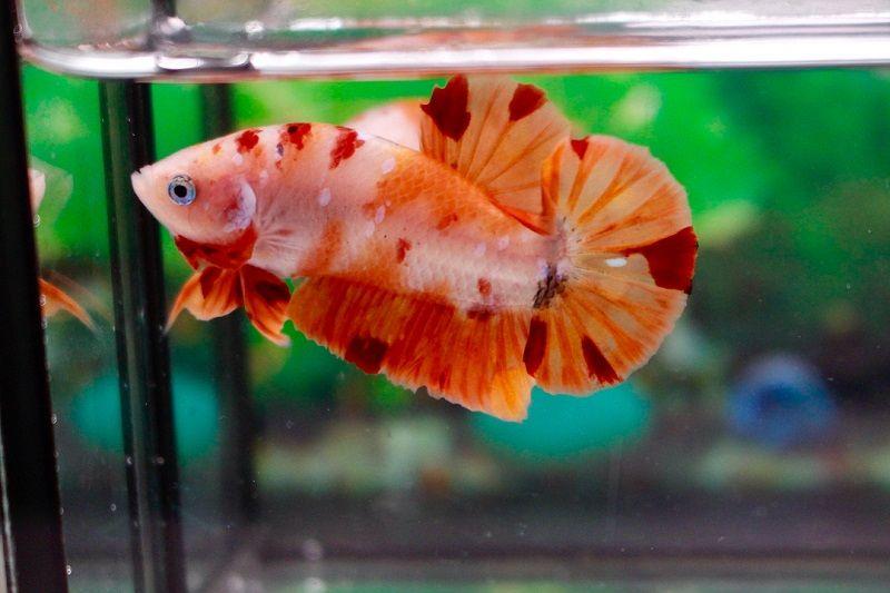 Image Betta Fish Food Reviews & Tips