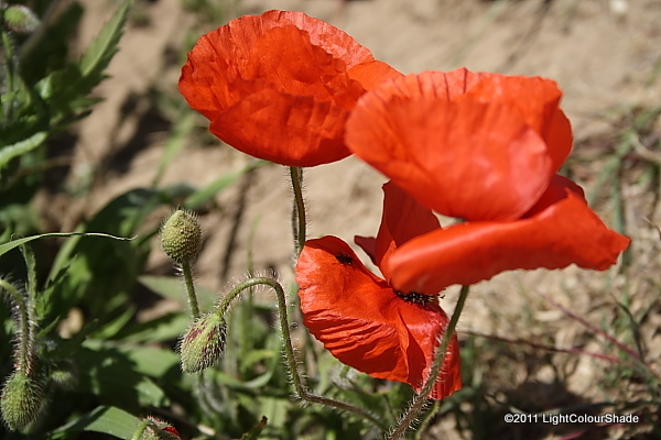 Poppy flowers and buds in the wind
