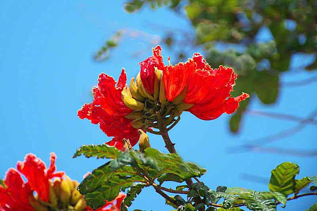 African Tuliptree and flowers