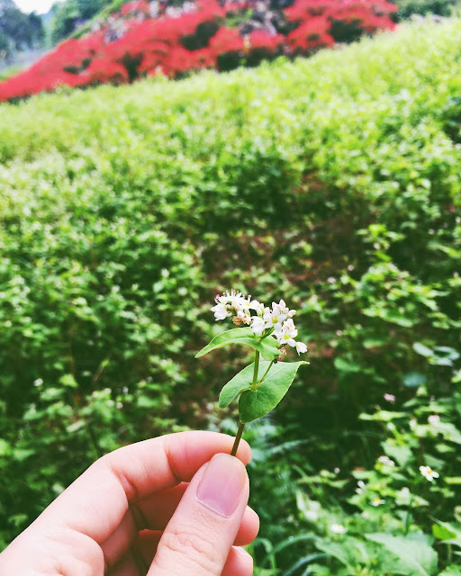 45 Hình ảnh hoa tam giác mạch đẹp & Ý nghĩa hoa tam giác mạch