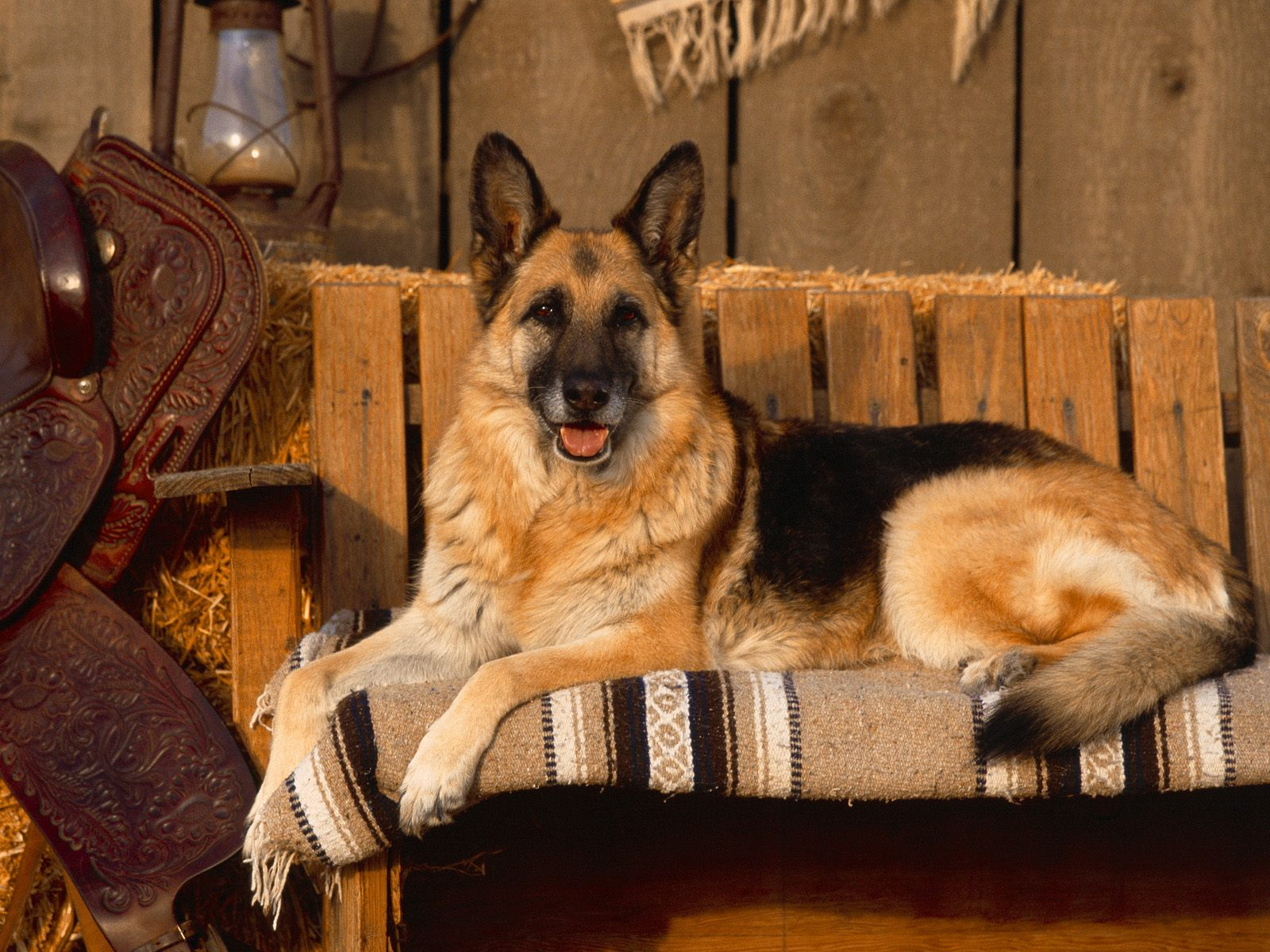 German Shepherd Dog HD Wallpapers 2013