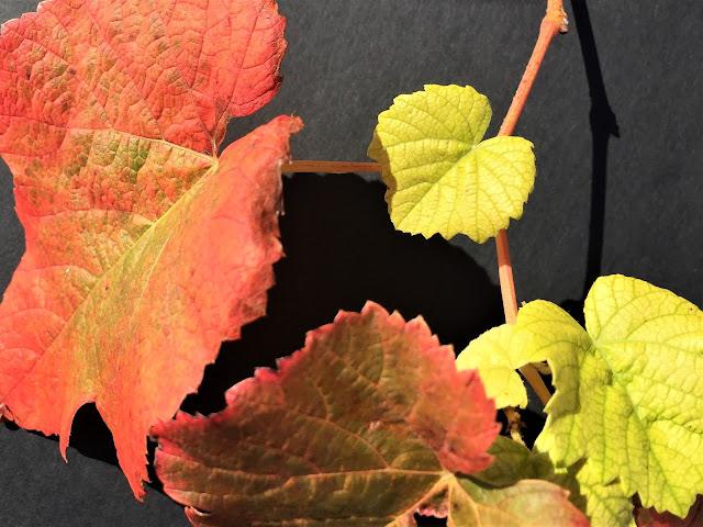 Rebe mit neuen Trieben und Herbstblättern
