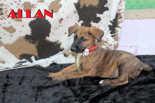 cachorro cruce pastor belga