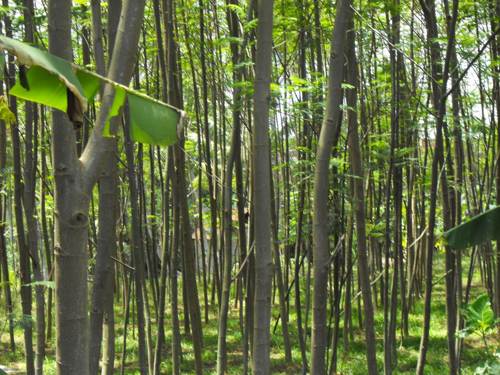 ANGKA BENTUK MAHONI (Swietenia macrophylla) DI HUTAN RAKYAT DI KABUPATEN CIAMIS