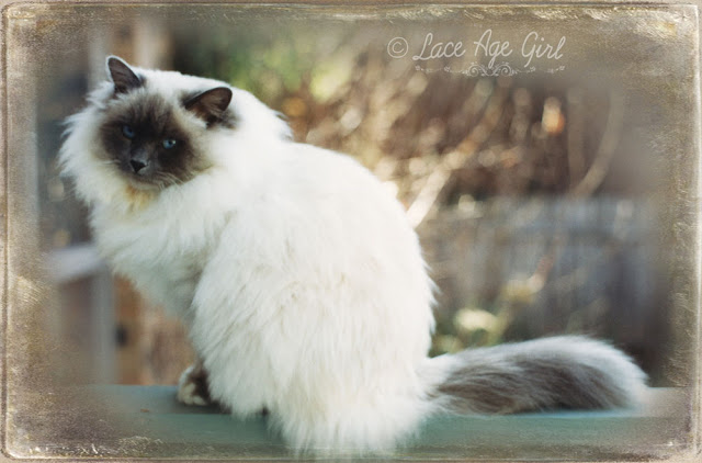 Birman by Jesse Rowan