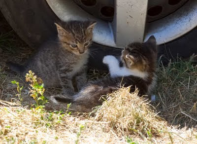 two tiny feral kittens play, having been brought near people