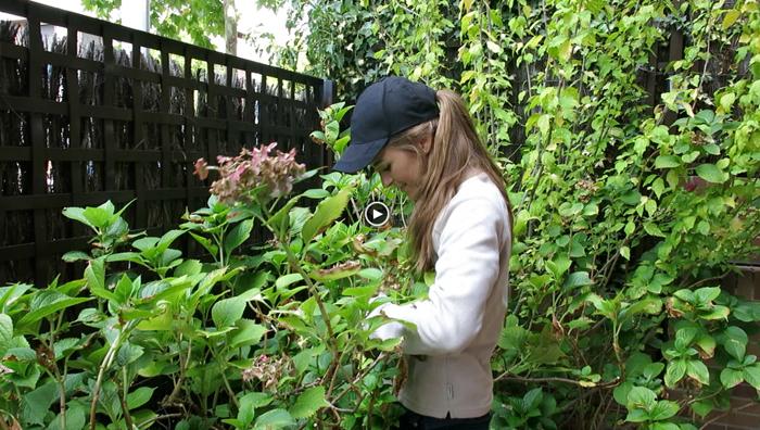 Video de c mo podar hortensias f cilmente paisaje libre - Poda de hortensias epoca ...