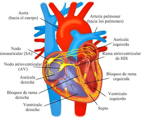 Anatomía del corazón (miocardio): cavidades, aurículas, ventrículos, impulsos eléctricos, sonidos del corazón