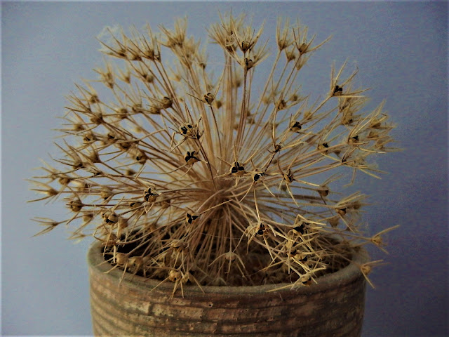 Allium christophii seed head in a pot at home