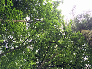 tree photo looking up ireland trees forest blarney castle finished orsoni