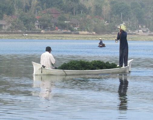 Seaweed Farms On Nusa Lembongan, Seaweed Farming Nusa Lembongan, Lembongan Island Seaweed Farming