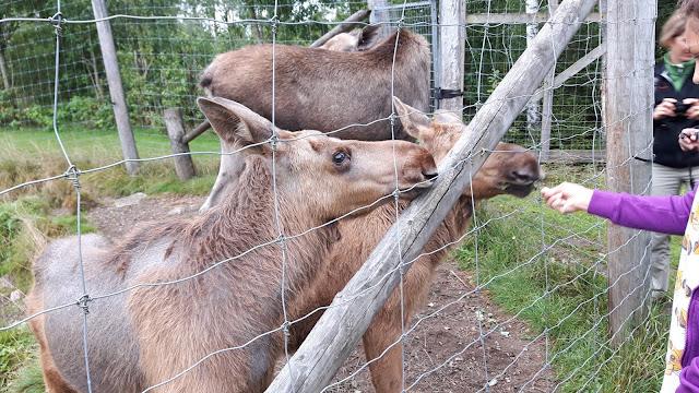 Elchsafari in Schweden: Elche füttern und streicheln