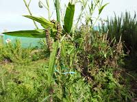 http://myworldthrumycameralens.blogspot.de/2016/05/monarch-caterpillars.html