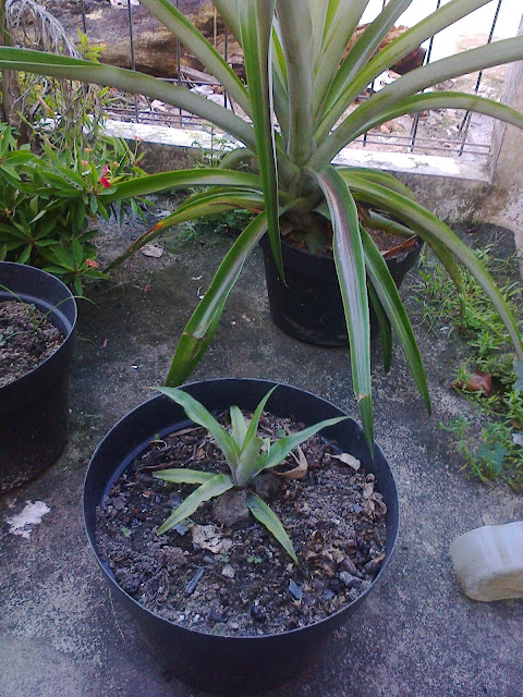 Pineapple in Pot of my Garden