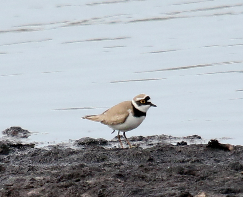 Fly Flatts Little Ringed Plover.