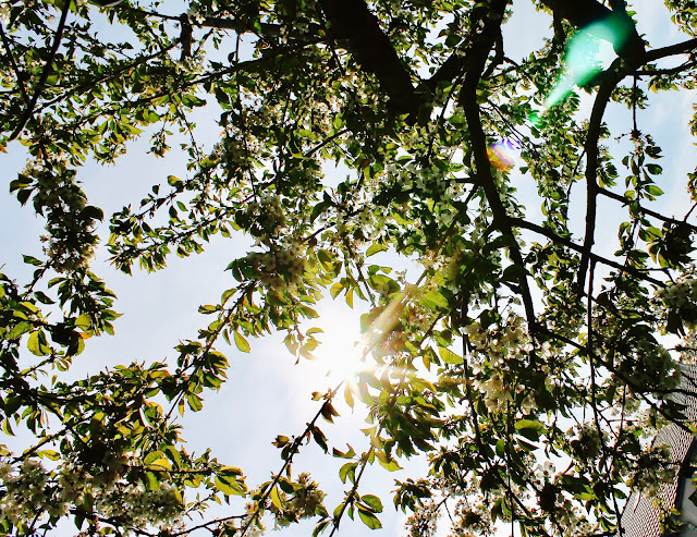 Kirschbaum im Grünen ©misspaperback