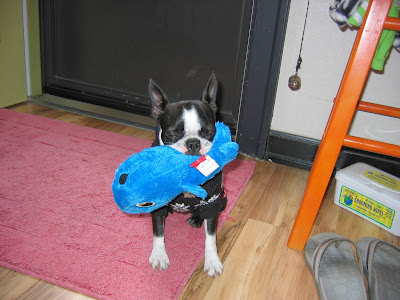 Sinead the Boston terrier and her dog toy