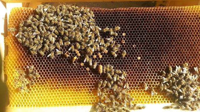 Ορφανά μελίσσια και νεκρές μέλισσες. Πεθαίνουν τα μελίσσια...