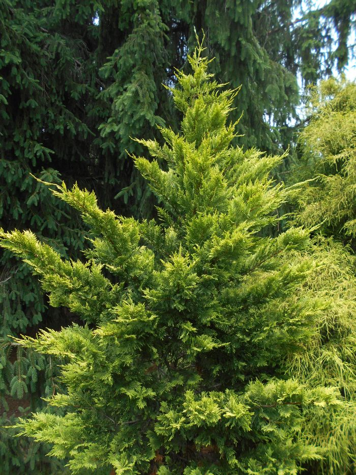 Gold Rider A Fast Growing Dense Pyramidal Large Tree Reaching Up To 20 Feet In 10 Years 40 X 15 And Eventually Much Larger
