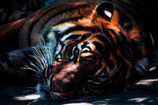 Close up of a tiger resting in the shadows -  photo by Edewaa Foster on Unsplash