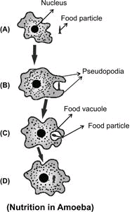 amoeba takes food using finger like extension of cell surface called  pseudopodia  these pseudopodia fuse to form food vacuole