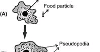 How does the process of nutrition take place in amoeba