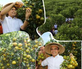 Banyuwangi sentra jeruk nasional.