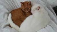 White & Ginger cats