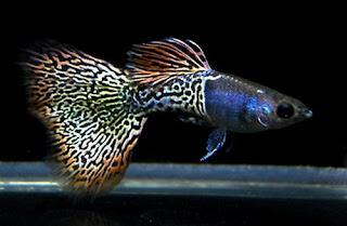 أسماك الطاووس الصينية الرائعة الجمال سبحــــــان الله image02625-753852.jp