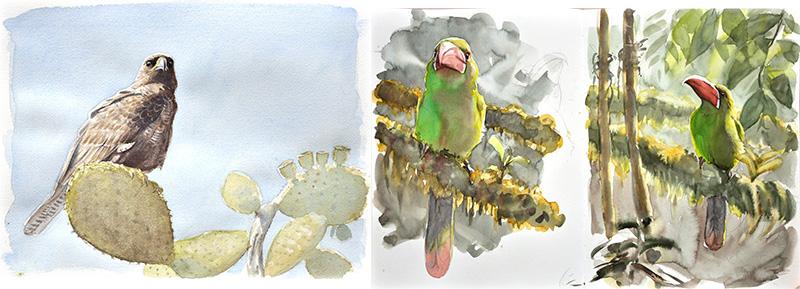 Buse des galapagos et toucanet à croupion rouge, aquarelle