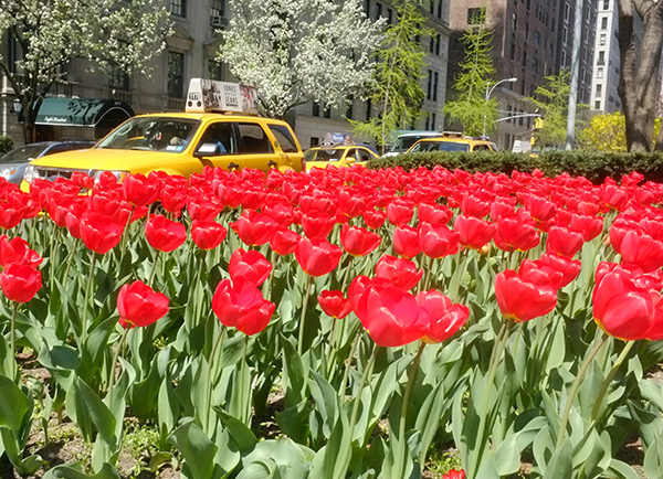 tulips in new york