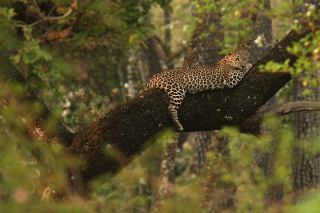 Leopards in India