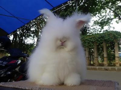 Gambar kelinci english Anggora EA lucu & cantik