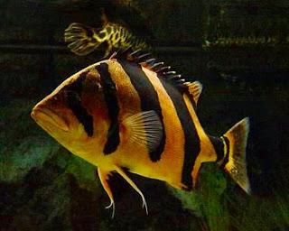 Dunia Ikan Hias - Datnoid (Tigerfish)