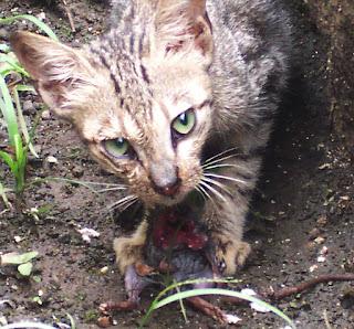 Gambar Kucing Karnivora