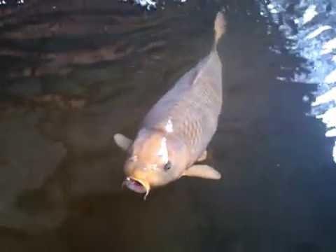 Pemijahan Ikan Koi