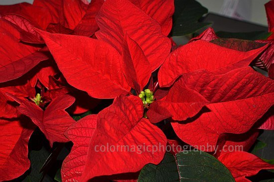 Poinsettia flower-macro