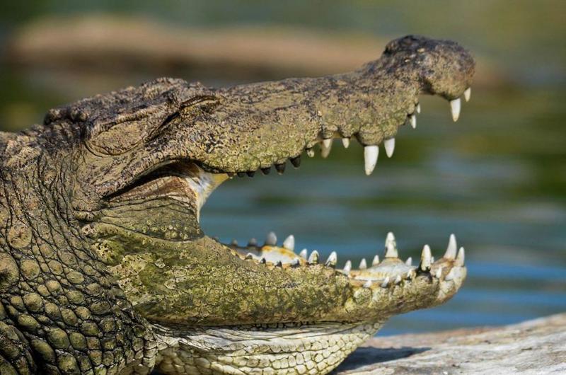 تفسير حلم رؤية التمساح في المنام موسوعة المعرفة الشاملة
