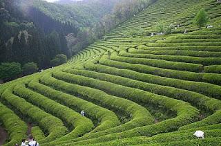 الشاى الأخضر الشاي.jpg