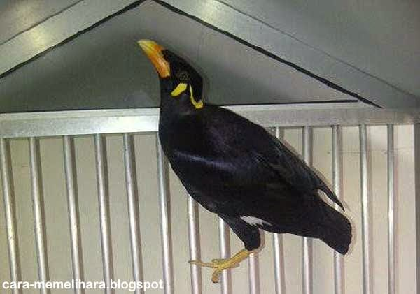 Cara Mudah Melatih Burung Beo Menirukan Suara Manusia