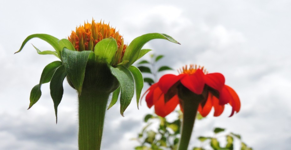 capullo de flor roja y amarilla