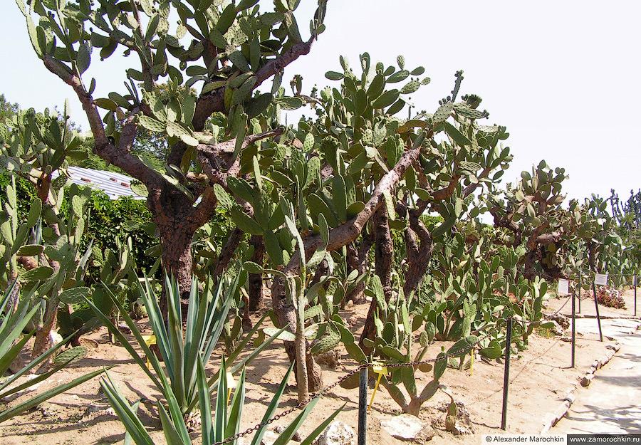 Кактусы в Ботаническом саду Балчика