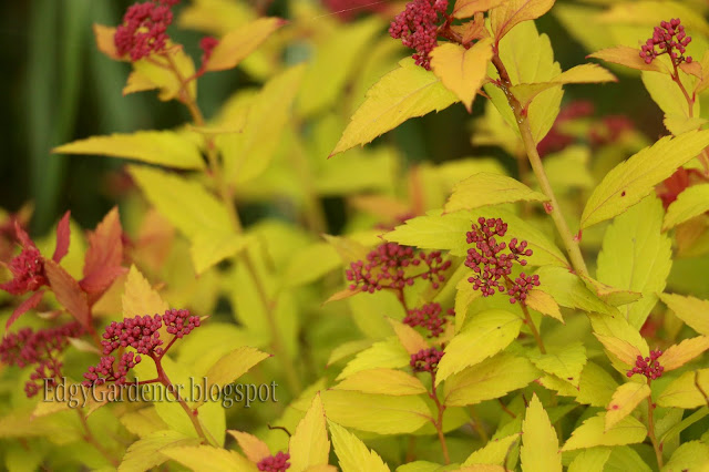 Magic Carpet Spirea May 2016 @ edgygardener.blogspot.com