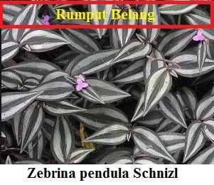 Rumput Belang ( Zebrina pendula SchniziL )