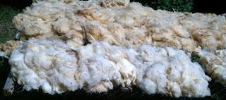lã de ovelha  para beneficiamento