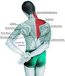 anatomi otot punggung manusia lengkap dengan deskripsi