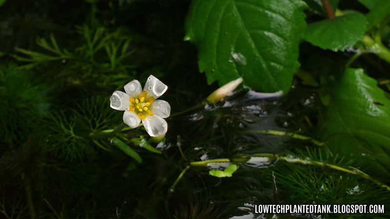 cabomba flower