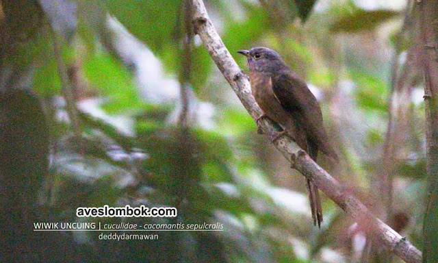Wiwik Uncuing, Rusty-breasted Cuckoo, Cacomantis sepulcralis