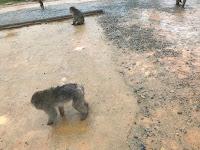 Mono en libertad a cuatro patas que parece un perro