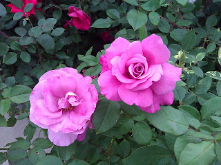 A pair of pink roses still ont he bush.  One is fully open and exposing the pollen inside.  The other is still tightly bound in the center, but is still rather open.